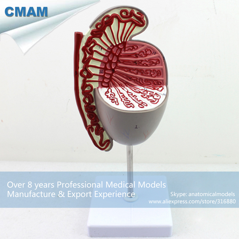 12429 CMAM-UROLOGY09 Enalarge 3.5x Human Testis Dissection Testicle Model, Medical Science Educational Anatomical Models cmam muscle16 deep anatomical structure model of human neck medical science educational teaching anatomical models