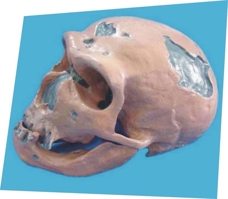 Skull model human skeleton Medical Teaching free shipping