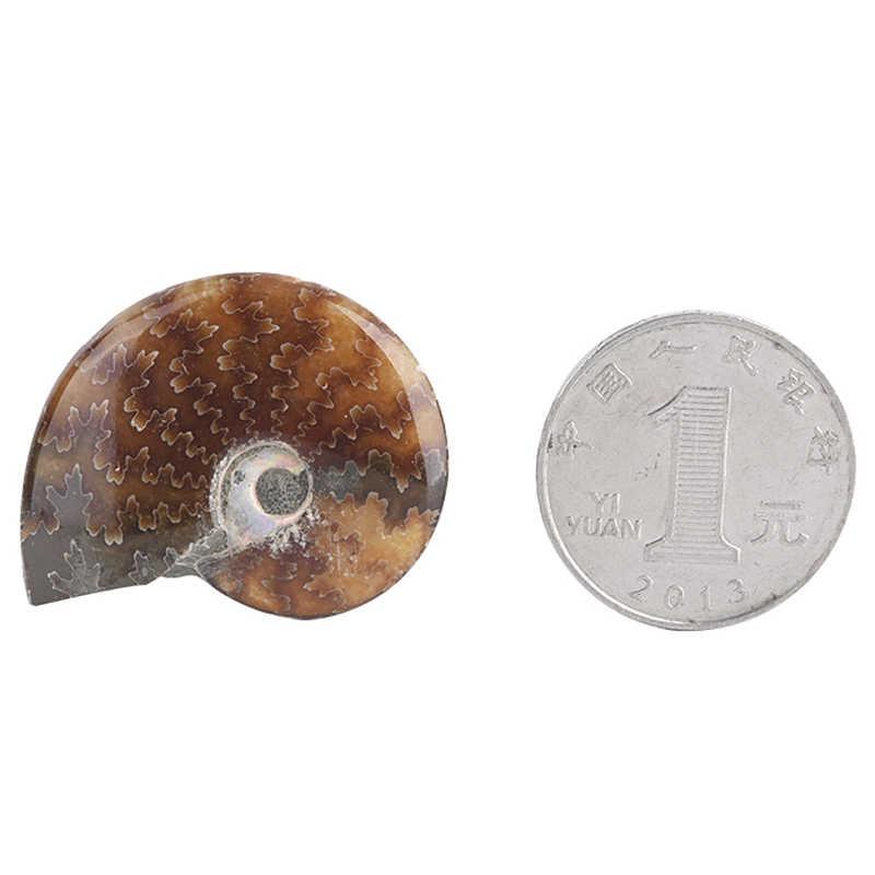 ナチュラル手芸個化石純粋な手のひらで再生ため石 Collection2.6-3.5 センチメートルスパイラルアンモライト天然アンモナイト