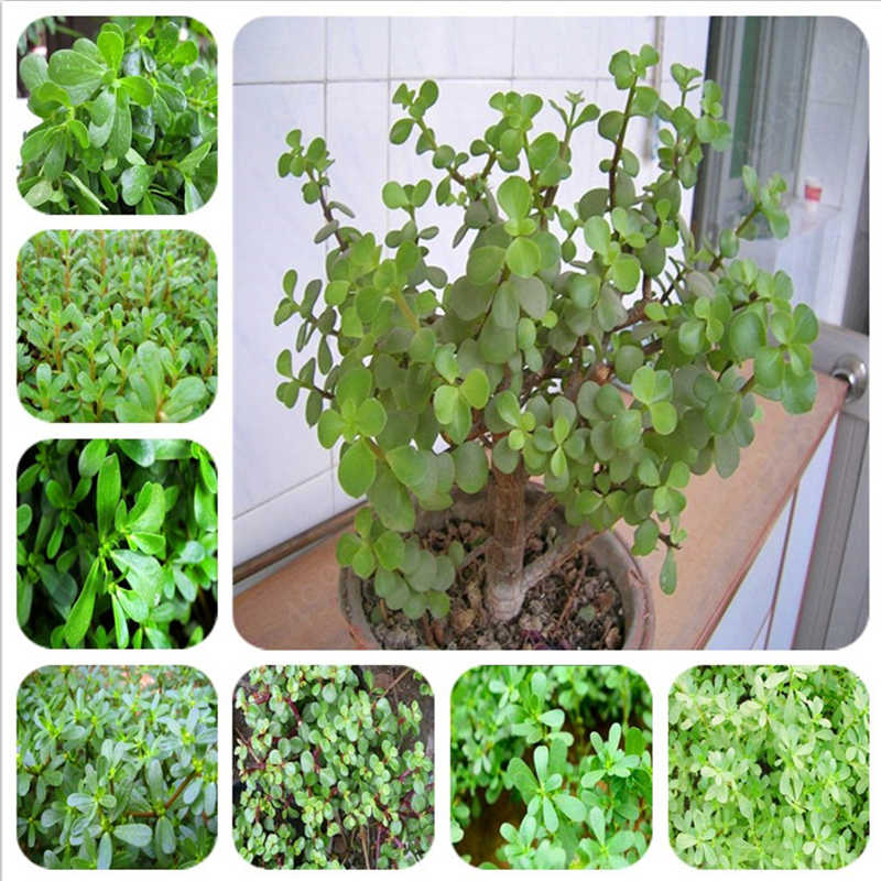 Big promotion! 100 pieces  Purslane bonsai healthy vegetable bonsai home garden planting  easy to grow perennial free shipping