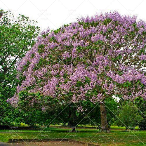 100 pcs paulownia tree plant princess tree or empress tree rare 100 pcs paulownia tree plant princess tree or empress tree rare purple flower plant perennial plant for home garden decoration in bonsai from home garden mightylinksfo