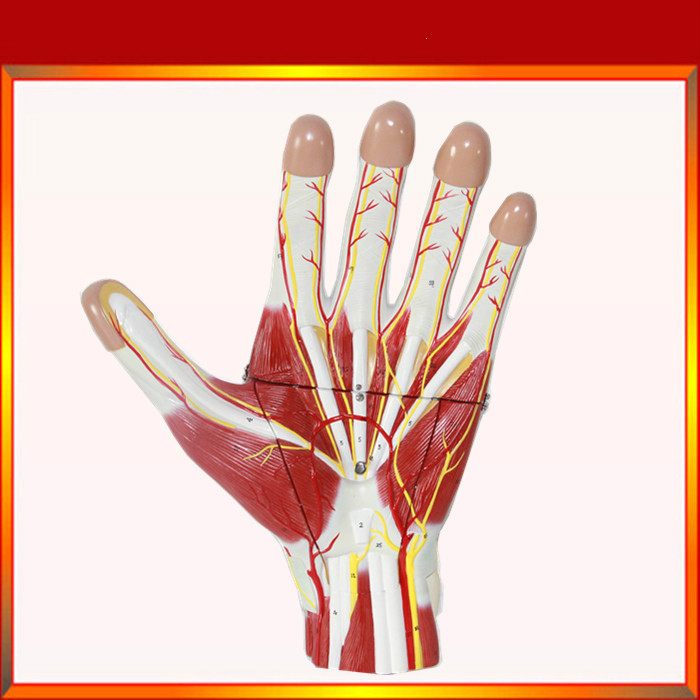 Vergrößerte 2x Leben Größe Menschlichen Anatomie Hand Muscle Nerven ...