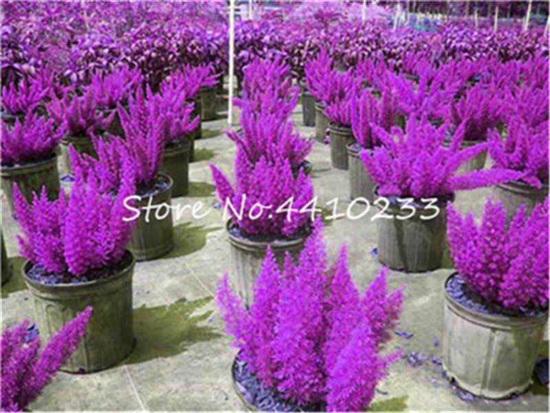 100 ชิ้นผสม Foxtail Fern Bonsai, ที่หายากแปลกใหม่ Creeper Vines หญ้าประดับใบไม้พืชกระถางดอกไม้ Planters Purify Air