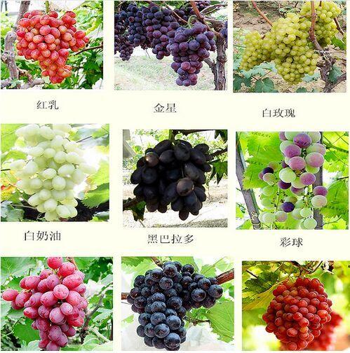 Mixed 30 / fruit juice grape seedlings potted saplings