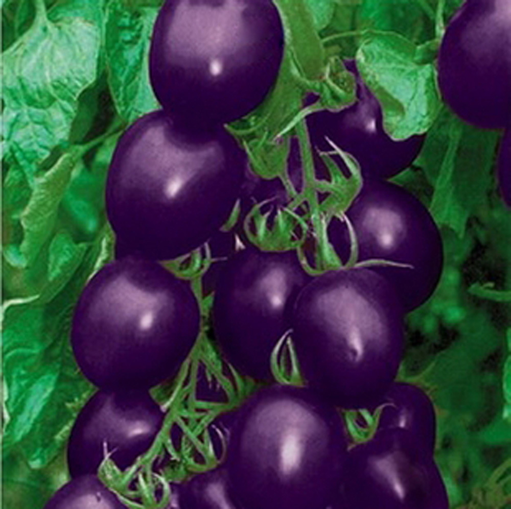 500 seeds Purple Holy Fruit Tomato Seeds Hot Small Fam