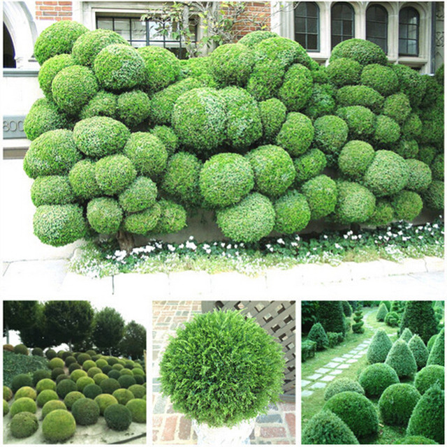 30pcs/lot Juniper Balls Potted Flowers Purify The Air Absorb Harmful  Gases,DIY Home