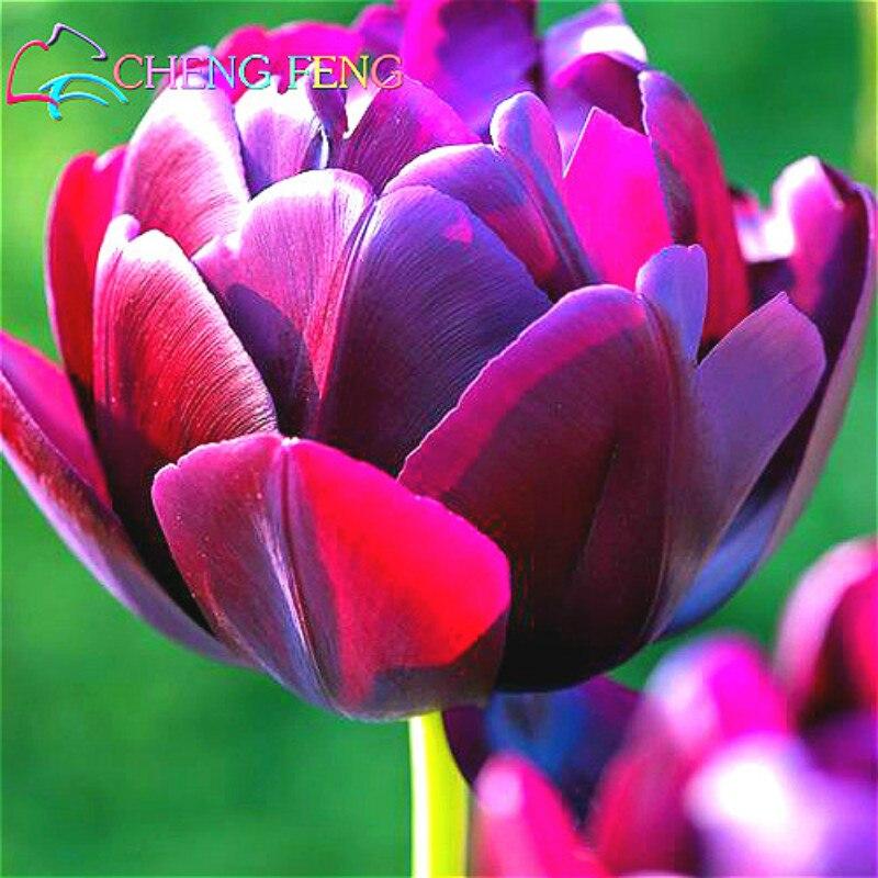 achetez en gros plantation en pot tulipes en ligne des grossistes plantation en pot tulipes. Black Bedroom Furniture Sets. Home Design Ideas