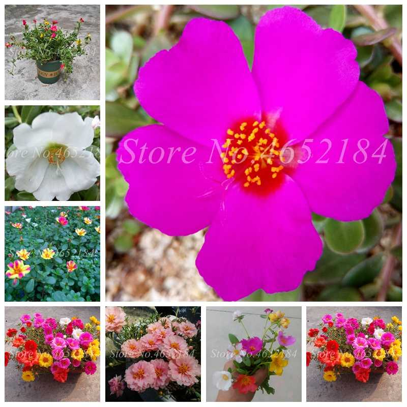 100 Pcs Portulaca Grandiflora bonsai Mixed Color Moss-Rose Purslane Double Flower Plant For Planting Heat Tolerant Easy Growing