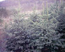 Free Shipping bonsai New Arrival Home Garden Plant 20 Seeds Evergreen Colorado Blue Spruce Picea Pungens Glauca Tree Seeds