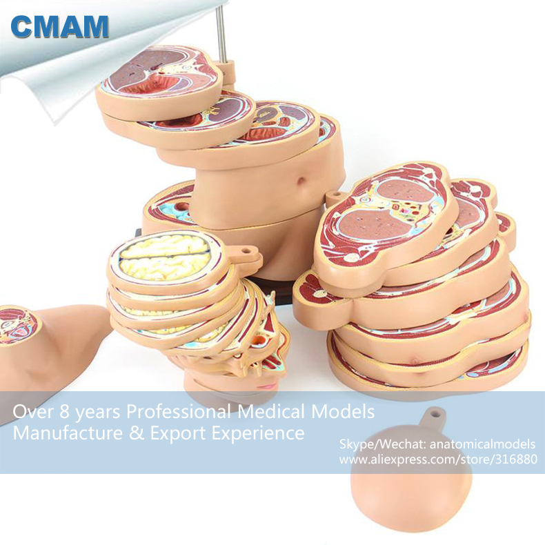 12398 1 Cmam Brain01 1 Horizontal Cutting Anatomy Model Of Human