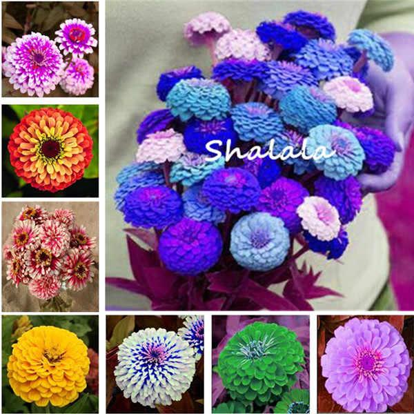 200 Pcs Zinnia Bonsai Pretty Pastel Colors Perennial Bonsai For Home Garden Charming Chinese Flowers Perennial Bloom Plant