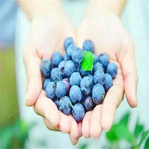 500 Buah Bonsai Blueberry Organik Pusaka Buah Dwarf Pohon Bonsai Pot Tanam untuk Musim Semi Taman Rumah Alat