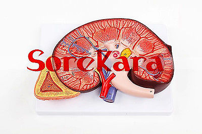 3:1 Human Anatomical Kidney Structure Dissection Organ Medical Teach Model School Hospital Hi-Q 1 1 human anatomical respiratory system heart lung organ medical teach model school hospital