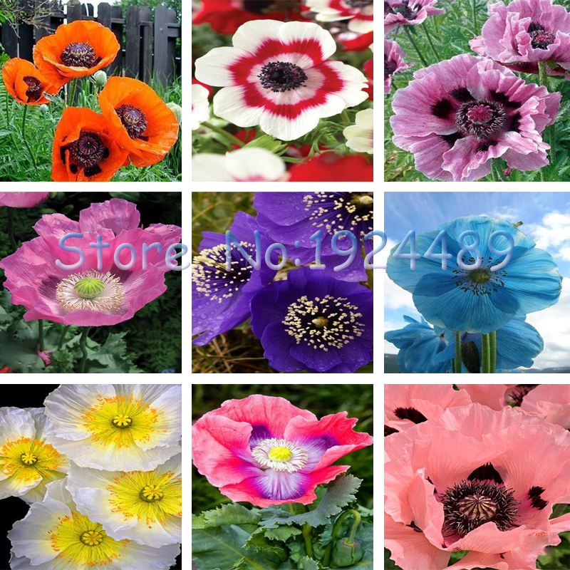 Unique 9 different colors of oriental poppy seed flower
