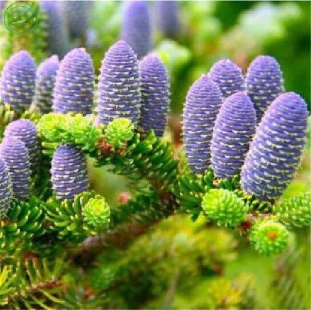 50 шт. Корейская ель Abies Koreana бонсай цветочное растение DIY домашний двор редкие фиолетовые деревья в горшке для дома Садовые посадки