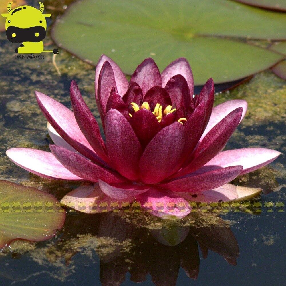 Dark Purple Jade Lotus Flower Seed 1 Seedpack Water Lily Variety