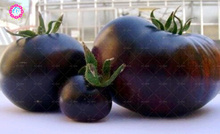 Black Tomato seeds 500PCS gaint tomatoes seeds 2016 HOT SALE Home & Garden Planting Free shipping High germination rate