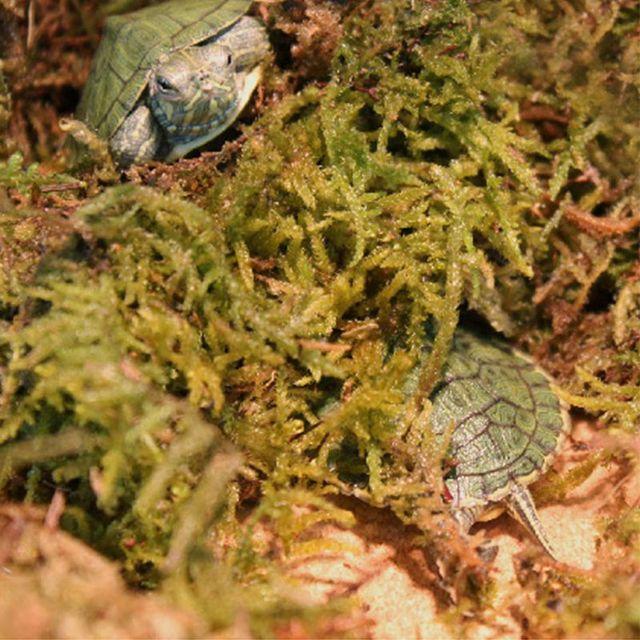 Natural Terrarium Reptile Moss 2
