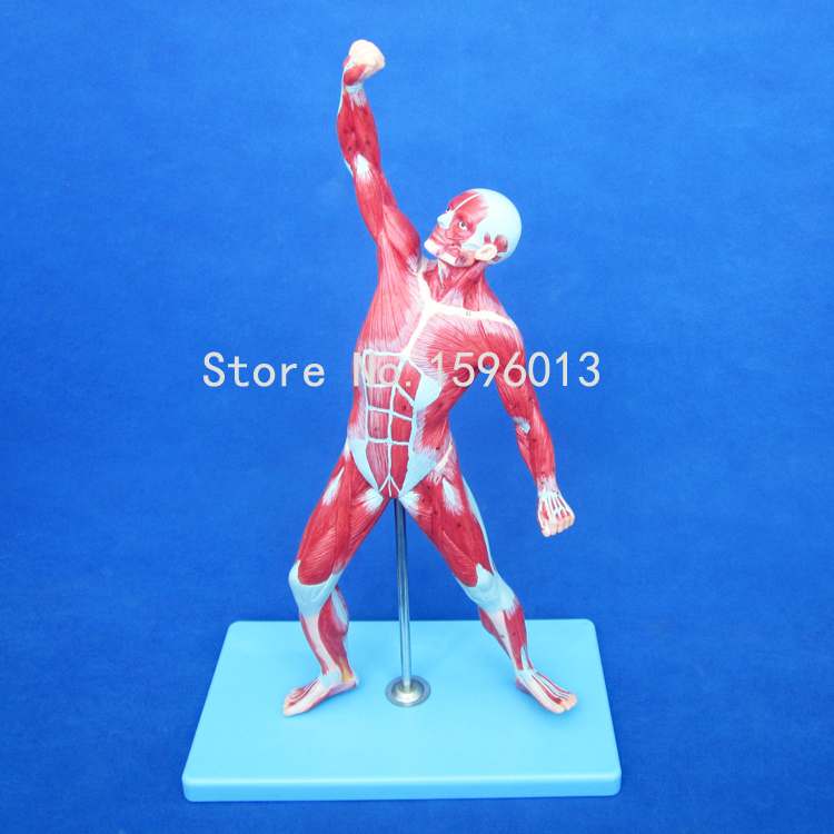 HOT 50CM Muscles of Male model, Male Muscles Model, Anatomical Model of Human Muscles human larynx model advanced anatomical larynx model