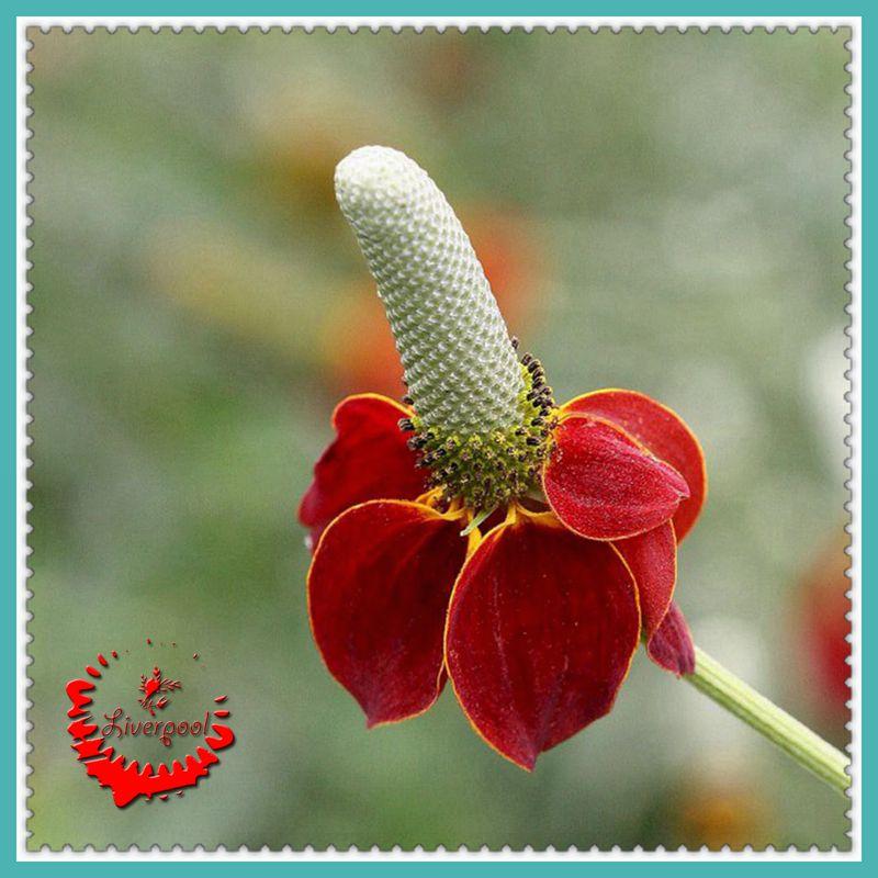 Цветы мексиканская шляпа
