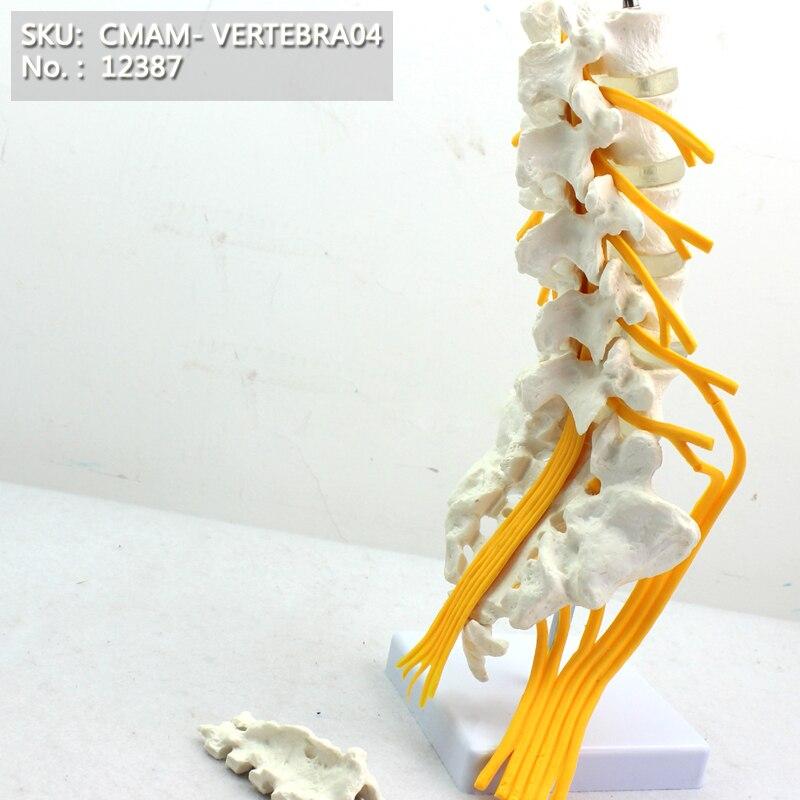 CMAM/12387 Lumbar vertebra, Nervi Ischiadicus Model, Medical Backbone Anatomical Human ModelCMAM/12387 Lumbar vertebra, Nervi Ischiadicus Model, Medical Backbone Anatomical Human Model