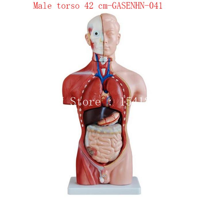 Cranial esophagus trachea aorta heart lung stomach diaphragm liver ...