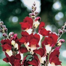 30+seeds/pack ANTIRRHINUM NIGHT AND DAY SNAPDRAGON FLOWER SEEDS / LONG LASTING ANNUAL
