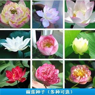 Free Shipping Water Cultivayed Flower Bonsai Lotus 9 Varieties Each