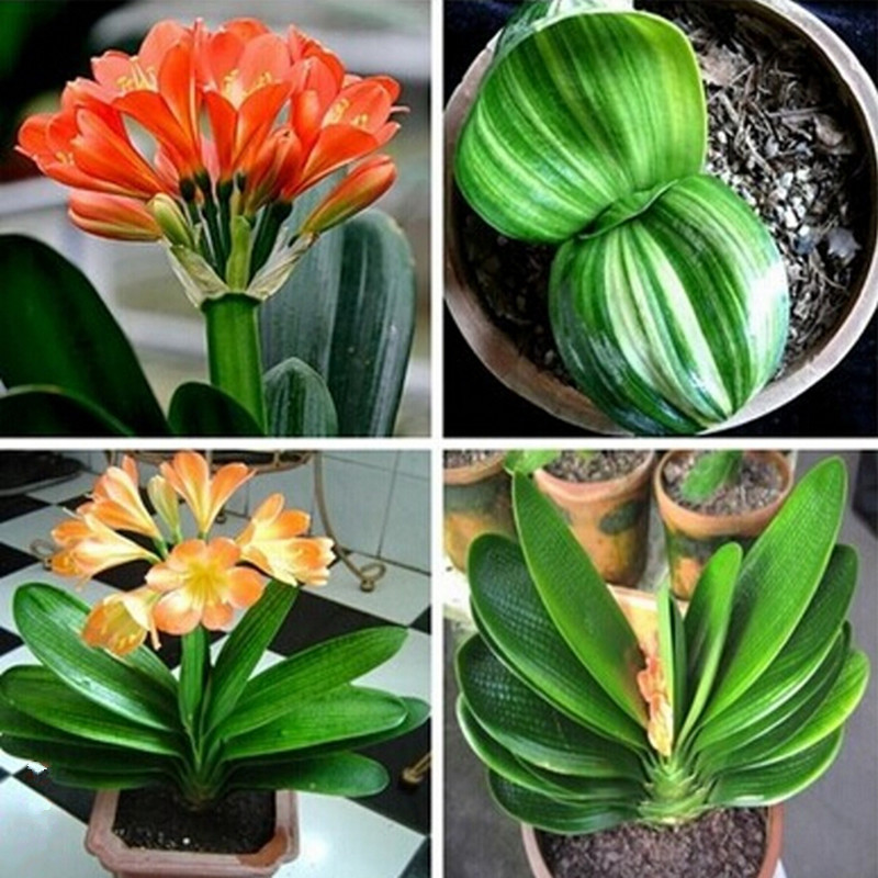 Garden Hot selling 100pcs Clivia Flower Seeds Bonsai flower DIY home garden for Christmas