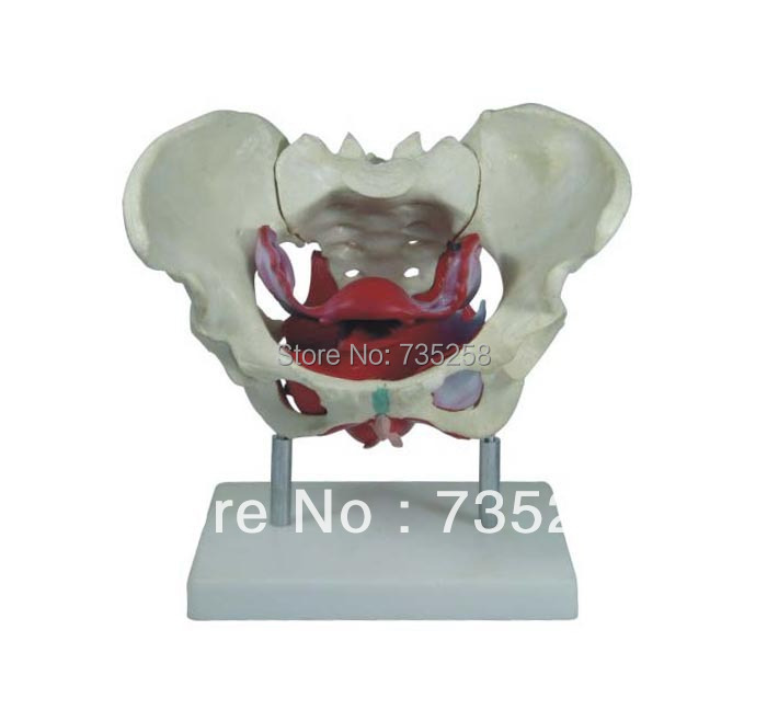 Female Pelvic Muscles And Organs,Model of the Female Pelvic Muscles,Female Pelvic Cavity Model median sagittal of female pelvis female pelvic cavity model reproductive system anatomical model