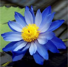2 seed / pack, Big Blue Lotus Flower Nymphaea Caerulea Aquatic Plants