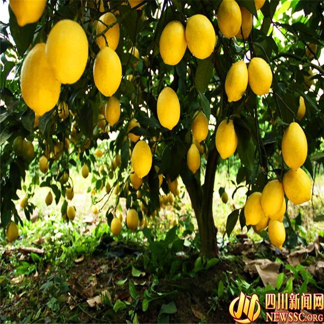 Buy 20 pcs bag lemon seeds home plant delicious fruit for Buy lemon seeds online