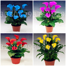 100Pcs Calla Lily Bonsai Plants Rare Indoor Potted Flowers Rhizome Zantedeschia Aethiopica Houseplants Home Garden