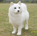 Моделирование животных 16X15X7 СМ белый Самоед собака игрушка полиэтилена и меха ремесленных Украшение дома реквизит эмуляции кукла подарок w531