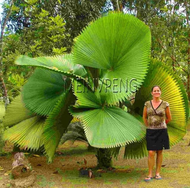 Neue 2018! 10 stücke Chinese Fan Palm bonsai Zier Anlage Livistona Chinensis anlage, Hohe Immergrüner Baum Brunnen Palm