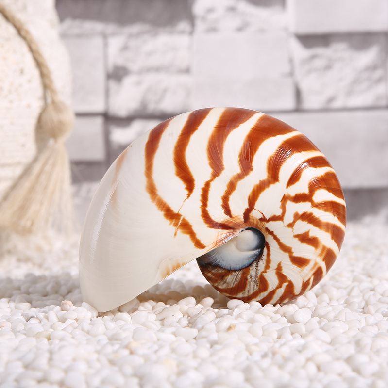 13 15CM Natural Pearly Four big Famous Screw Nautilus Conch Shells Coral Collectible Mediterranean Aquarium Ornaments Sea Snail