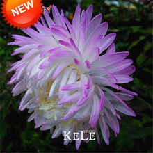 Promotion!100 Seed/bag White Purple Callistephus Chinensis Flower Seeds Balcony Potted Bonsai Seeds Aster Seed,#RC6UMX