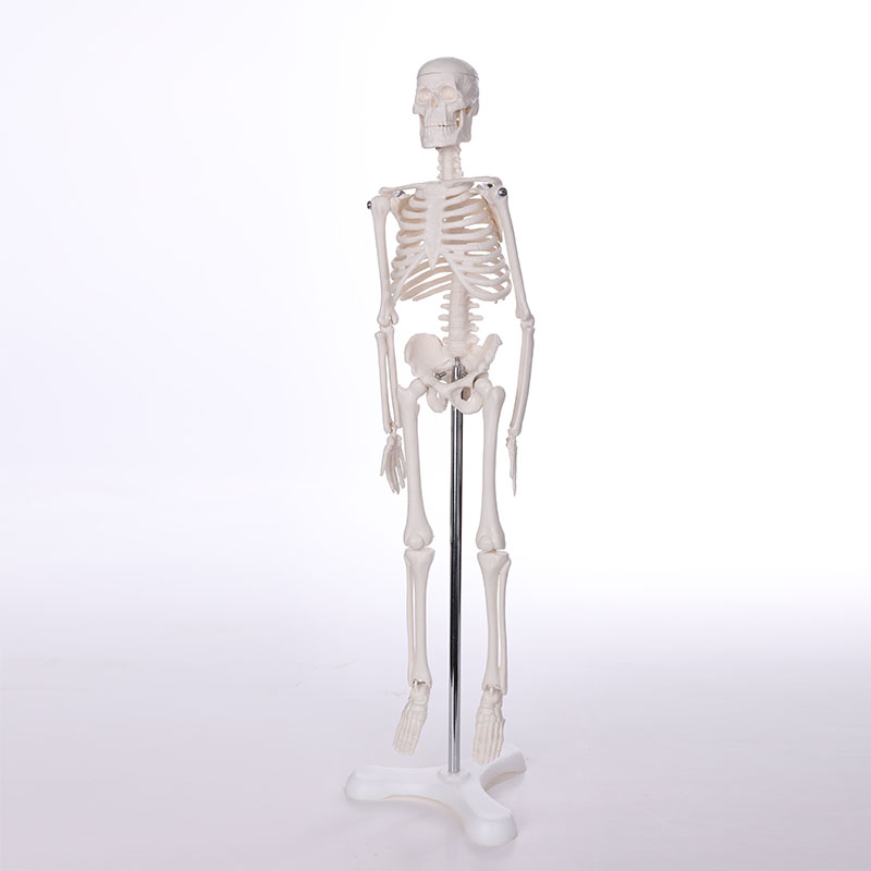 BIX-A1001 human skeleton anatomical model(180cm) WBW395 skeleton with muscles and ligaments 180cm tall human skeleton