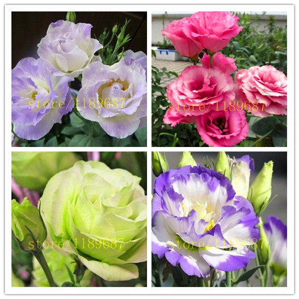 100 pcs Eustoma Seeds Perennial Flowering Plants Plants Potted Flowers Seeds Lisianthus Seeds