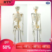 лучшая цена 85cm human standard skeleton model with spinal nerve model medical teaching educational free shipping