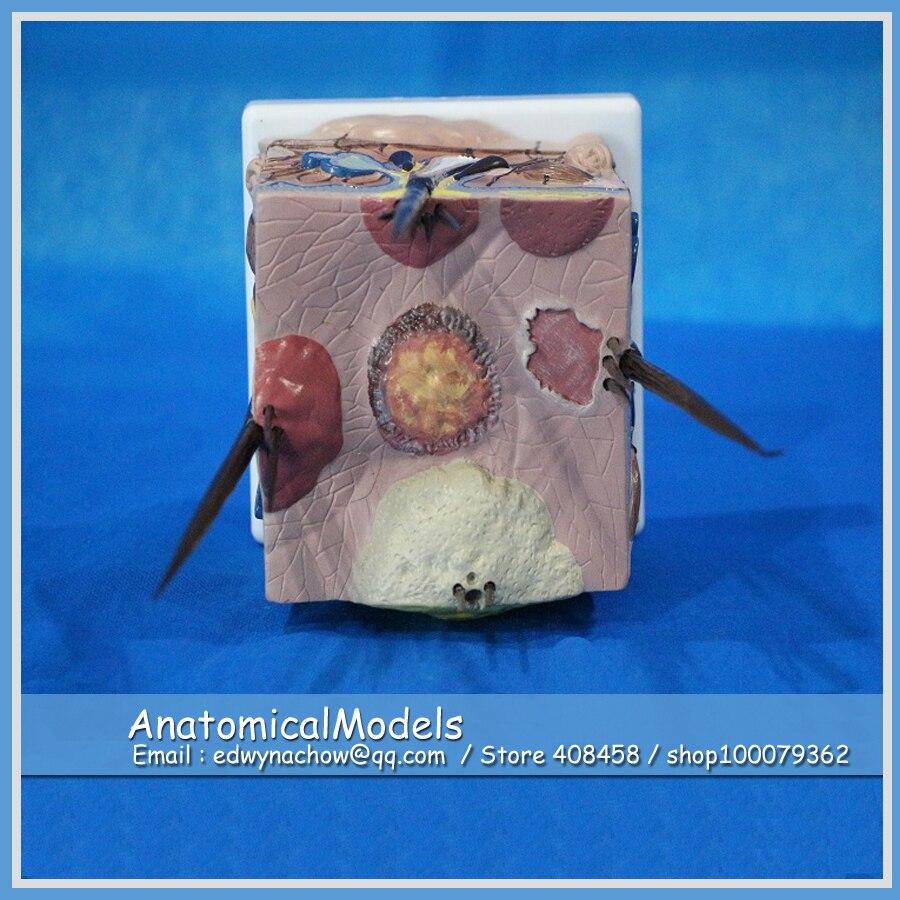 CMAM A10 Wholesale Disease Dog Skin Model, Medical Veterinary ...