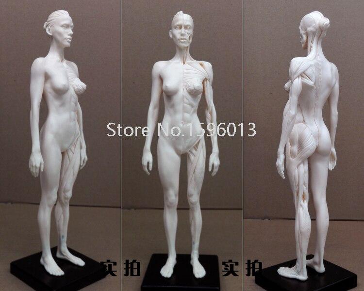 30 cm Menschlichen Weibliche kunstwerk Modell Medical Muscle Anatomischen/Anatomie Struktur Modell Künstler...