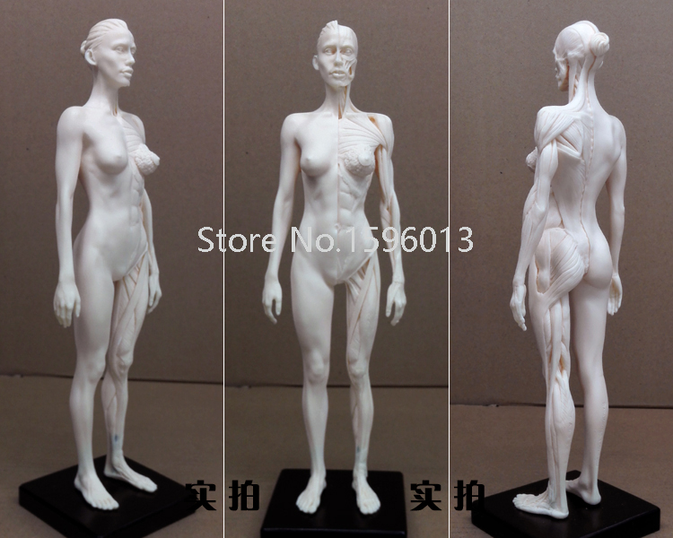 30cm Human Female artwork Model  Medical Muscle Anatomical/Anatomy Structure Model Artist Drawing human female pelvic section anatomical model medical anatomy on the base