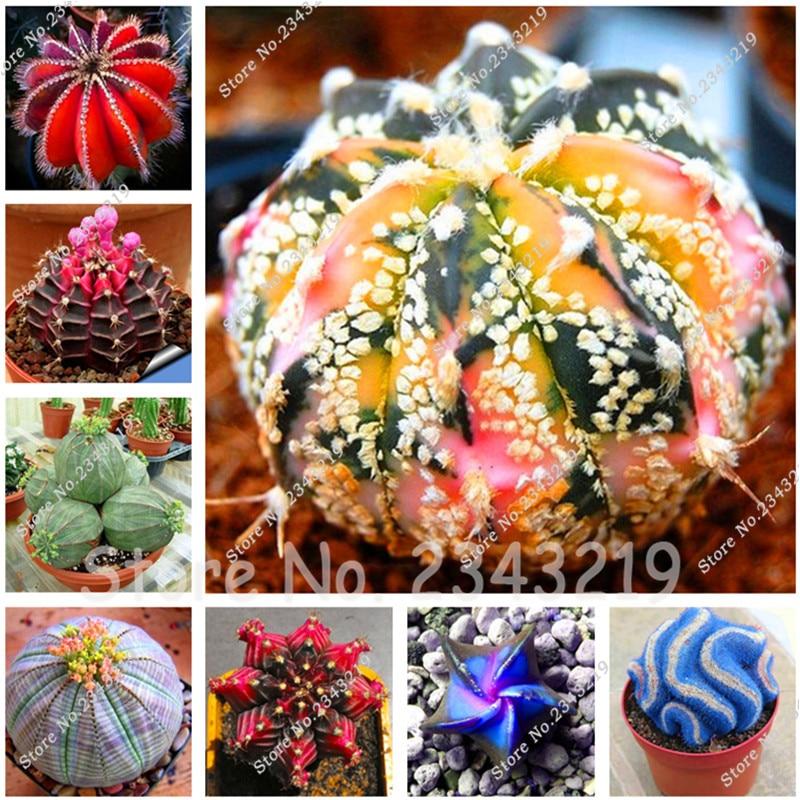 Fairy Succulents Seeds Semillas De Flores 100pcs/bag l