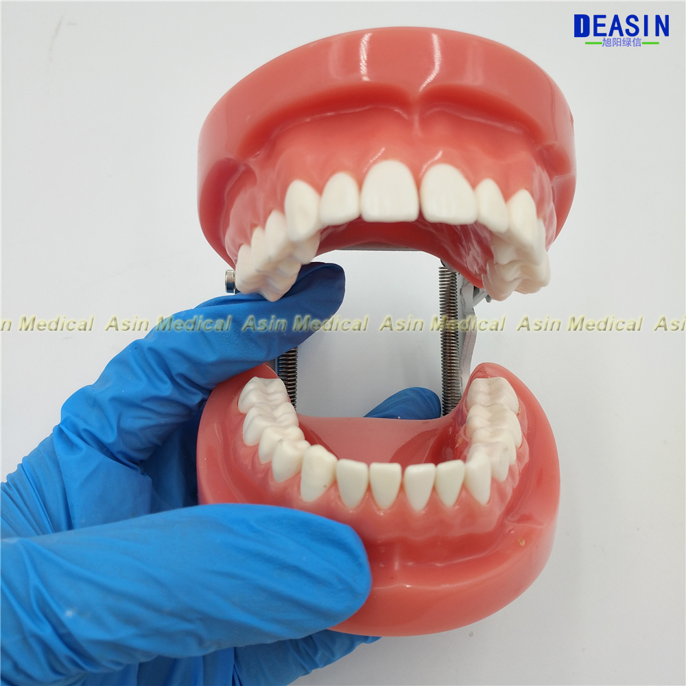 high quality 2018 Dental All teeth Removable Standard Teeth Tooth Model 28 pcs teeth student learning model D soarday transparent gingival standard teeth model 28 standard teeth dental model
