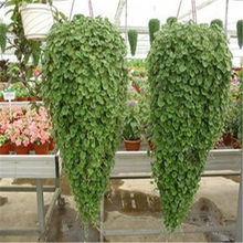 Sell like hot cakes100Pcs Water plants raw culture Horseshoe gold coins grass species Four Seasons germinate easily potted(China)