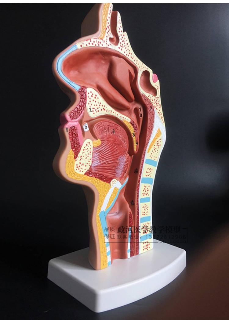 Human Nasal Cavity Throat Anatomy Model Pharyngeal Nasal Oral
