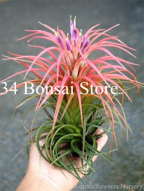 200 pz Rare Colore Festuca Erba Bonsai-(Festuca glauca) perenne Hardy Ornamentali Bella Erba Pianta per la Casa Decorazione del Giardino