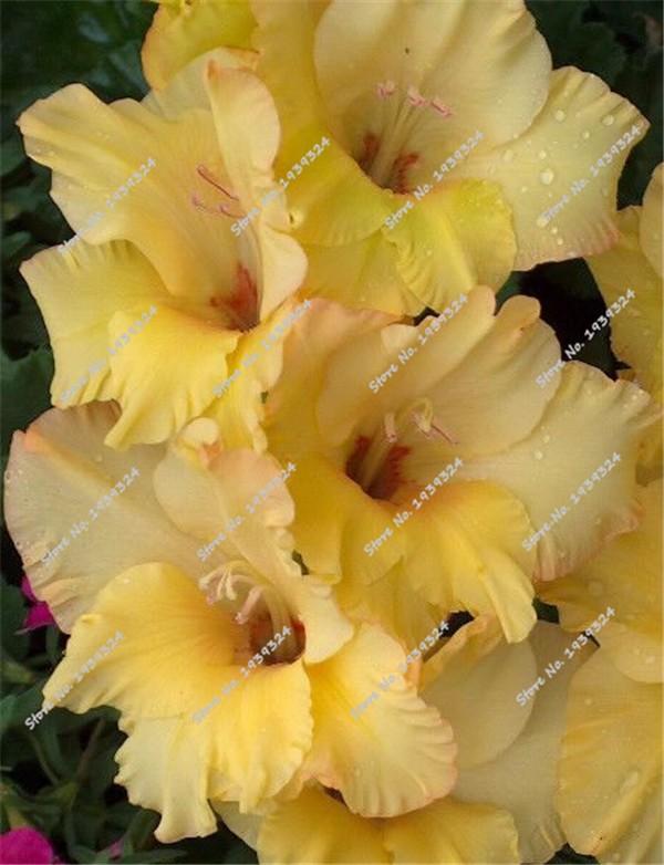 Gladiolus 'Sunset Dream'