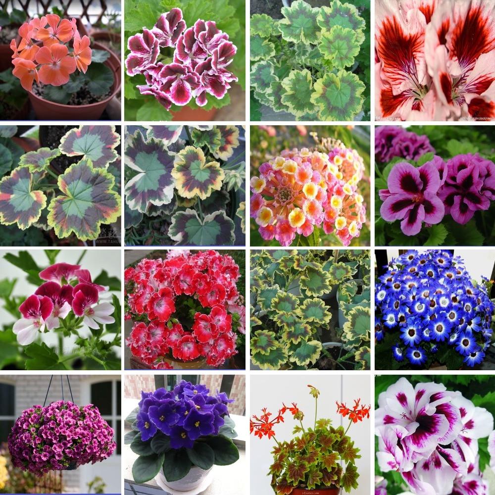 2016 Loss Promotion Fresh Geranium seeds Purifying air flower plants for home Garden bonsai seeds sent